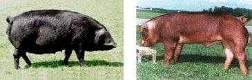 Maiali Large Black (sinistra) e Duroc (destra)