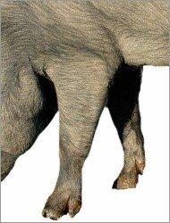 Zampa anteriore di un maiale iberico